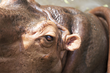 Close up of big hippo  photo