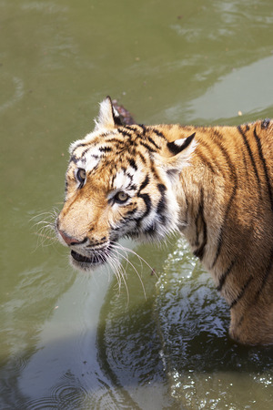 the amur: Portrait of Amur Tigers