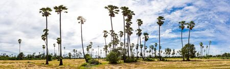 sugar palm: sugar palm and rice field with blue sky, Panorama Stock Photo