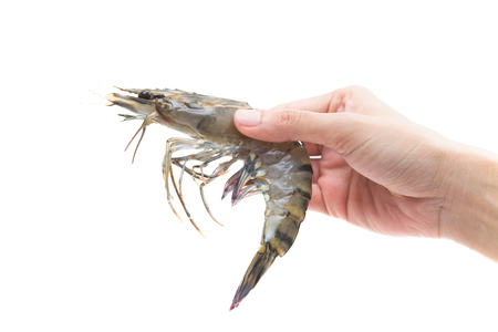 tiger shrimp: Raw Black Tiger Shrimp in hands isolated on white background Stock Photo