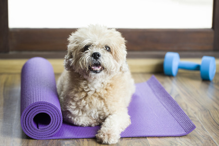 show dog: Dog sitting on a yoga mat, concentrating for exercise and listening to a trainer