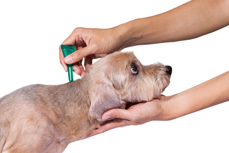flea: tick and flea prevention for a dog
