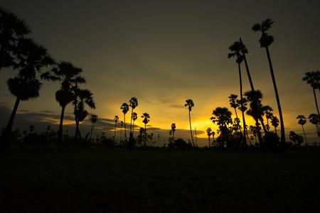 sugar palm: silhouette of sugar plam