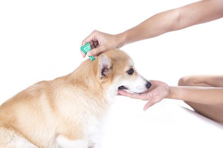 dog tick: tick and flea prevention for a corgi dog Stock Photo