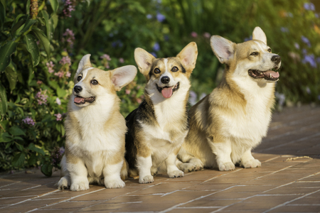 夏の晴れた日に芝生の上のコーギー犬