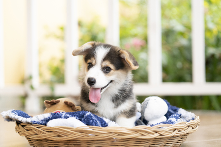 Corgi puppy or dog sitting in a basket in a sunny day happily  스톡 콘텐츠
