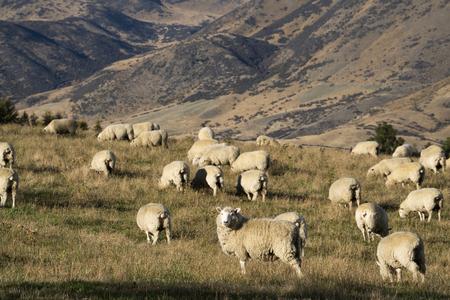 Pecore in Nuova Zelanda