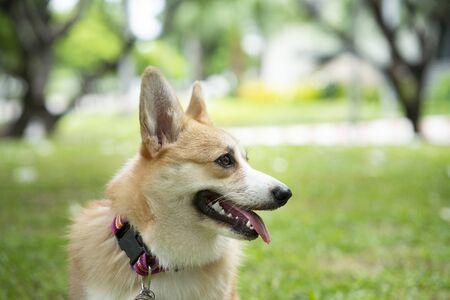 Corgi dog on the grass in summer sunny day