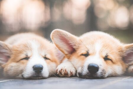 cute corgi dog puppies lying, relaxing and sleeping in summer sunny day, retro color style