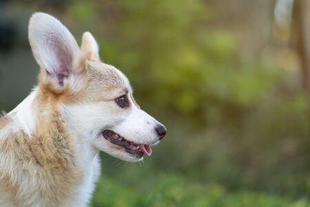 Corgi dog pet on the grass in summer sunny day Zdjęcie Seryjne