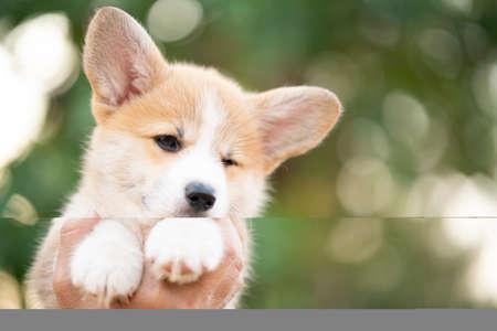 Corgi puppy baby dog in hand in summer sunny day Stockfoto