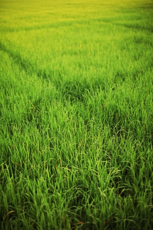 rice plant: Green pattern of rice plant in Thailand. Its real natural life.  Stock Photo