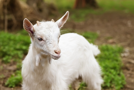 fidgety: white small goat Stock Photo