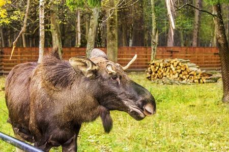 rutting: Wild Antlered bull elk during rutting season, Bialowieza Forest, Poland