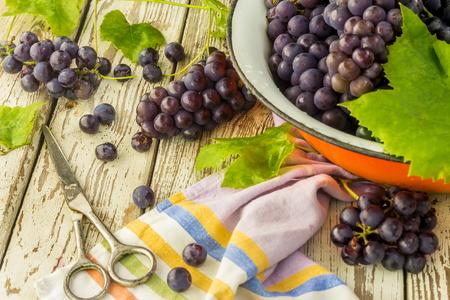 frash: Blue frash grapes in orange metal bowl with scissors on the wooden background