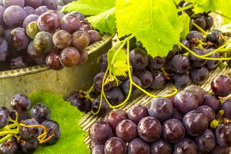 frash: Blue frash grapes in old metal bowl with scissors on the wooden background close up