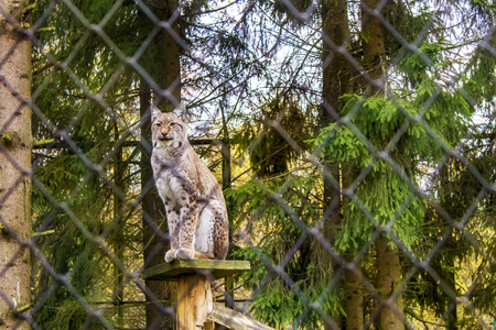 lynx in a cage in Poland