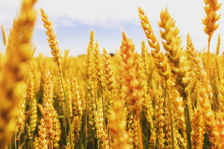 backdrop of ripening ears of yellow wheat field on the sunset cloudy orange sky background. Copy space of the setting sun rays on horizon in rural meadow Stock Photo
