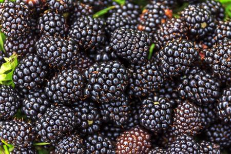 選択と集中でブッシュに熟した、unripe ブラックベリー。ブラックベリーの束。