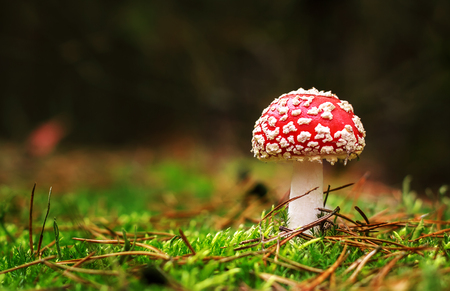 uneatable: Amanita Muscaria, poisonous mushroom. Photo has been taken in the natural forest background. Stock Photo