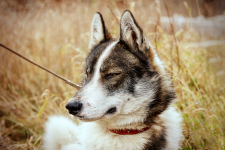 Husk dog. Husky. Dog on the background of grass. The dog is close-up.