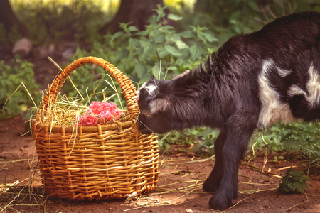A young goat grazes in a meadow with basket