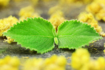 Mint leaves with immortelle on the background