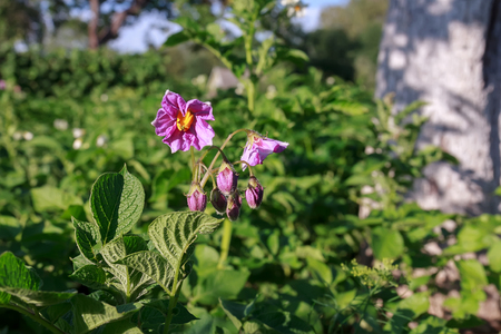 The potato flowers are purple. Flowering potatoes on a beautiful green background.