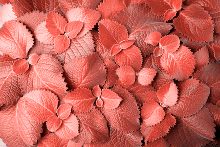 Living Coral color of the Year 2019. Beautiful fresh Mint leaves, horizontal Background with copy space