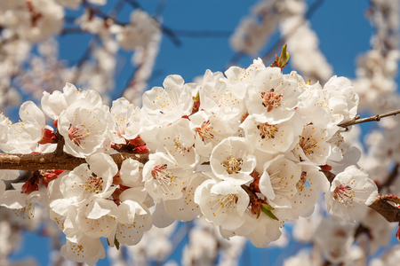 Beautiful white flowering cherry trees. Background with blooming flowers in sunny spring day.