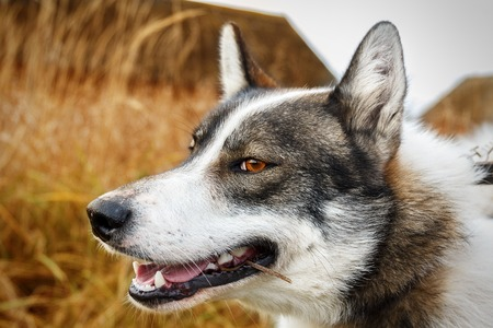 Portrait of white and gray dog on dry grass background