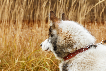Portrait of white and gray dog looking to back on dry grass background