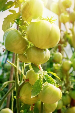 Organic farming, health tomato plants growth in greenhouse with sunlight. Tomato plants in greenhouse. Tomatoes plantation.