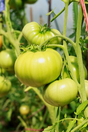 Organic agriculture farming, health tomato plants growth in greenhouse