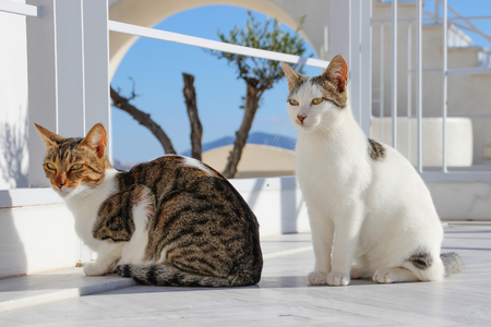 Two cats enjoy the sunshine on the island of Santorini. Fira, Greece