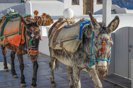 Two donkeys in a beautiful harness on the island of Santorini. Greece