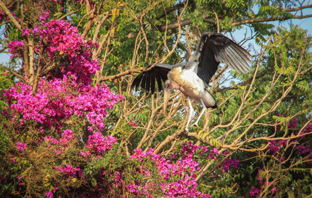 African stork Marabou spread his wings on a branch with flowers