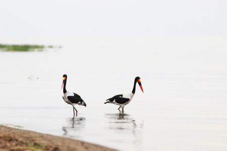 Two saddle billed storks walk across the lake looking for fish. Standard-Bild