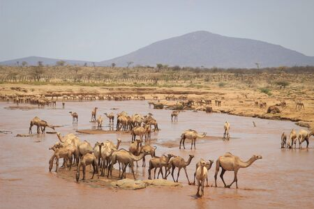 A herd of camels cools in the river on a hot summer day. Kenya, Ethiopia. Africa Banco de Imagens