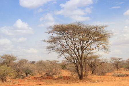 Dry acacia tree in the African savanna with many small bird nests on the branches Banco de Imagens