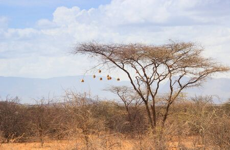 Dry acacia tree in the African savanna with many small bird nests on the branches