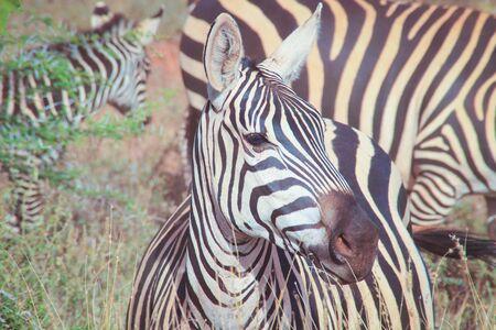 Portraits of African zebras. Tsavo National Park, Kenya