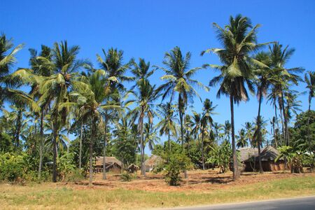 A large plantation of coconut palms and huts on the shores of the Indian Ocean, Malindi. Kenya