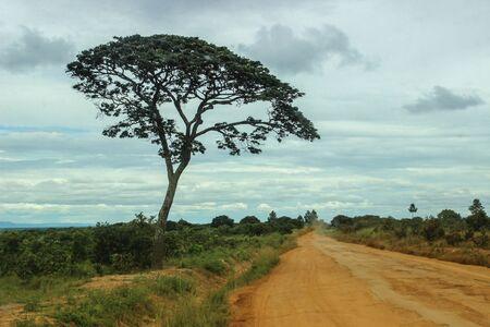 Umbrella Thorn Acacia: la imagen clásica de la sabana africana