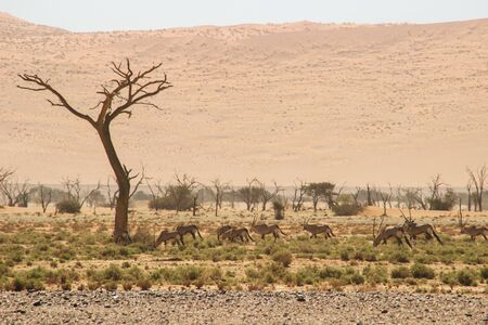 Oryx or antelope with long horns in the Namib Desert, Namibia, Africa.