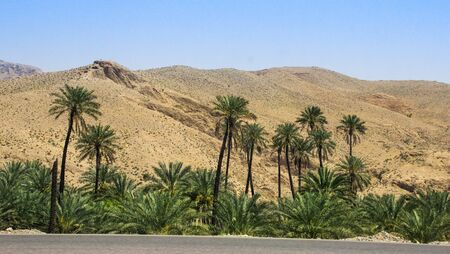 A piece of oasis with tall lush palm trees in the middle of the Iranian desert.