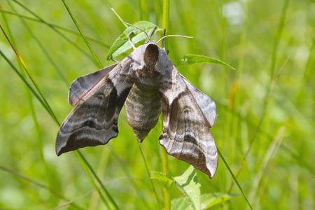bright eyed: Eyed Hawk-Moth Smerinthus ocellata. Stock Photo