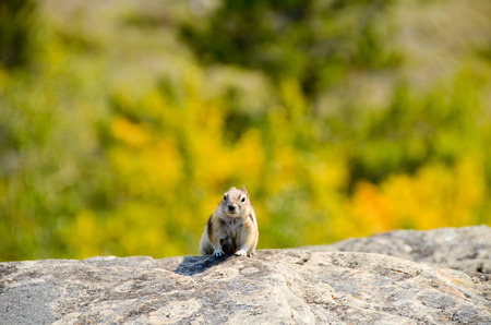 canmore: Wild Squirrel in Canadian Rocky Yamnuska Stock Photo