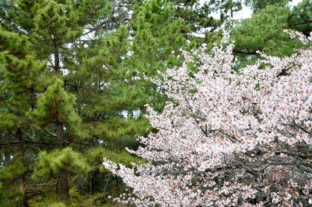 Cherry blossoms in Kyoto Gyoen Garden, Kyoto, Japan