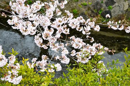 Cherry Blossoms on Philosopher's Walk, or Tetsugaku-no-Michi, Kyoto, Japan Фото со стока